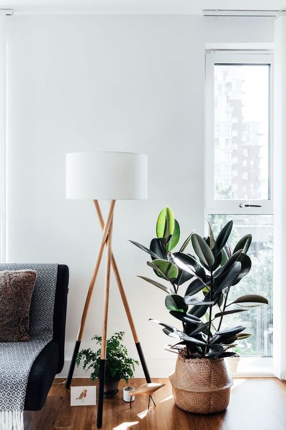 rubber plant as indoor plant