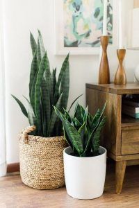 snake plant as indoor plant